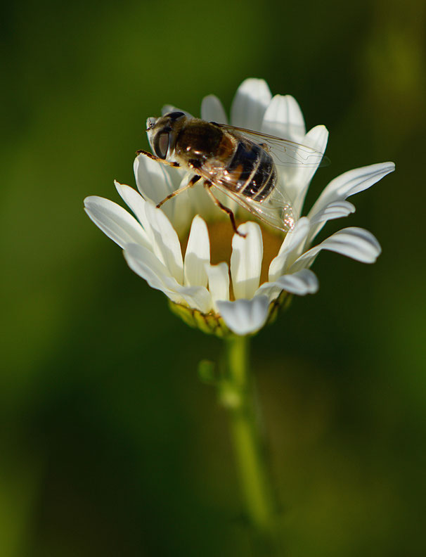 bee or fly on leucanthemum vulgare