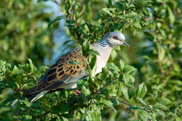 Foto: Manfred Delpho,  Die Turteltaube ist Vogel des Jahres 2020.