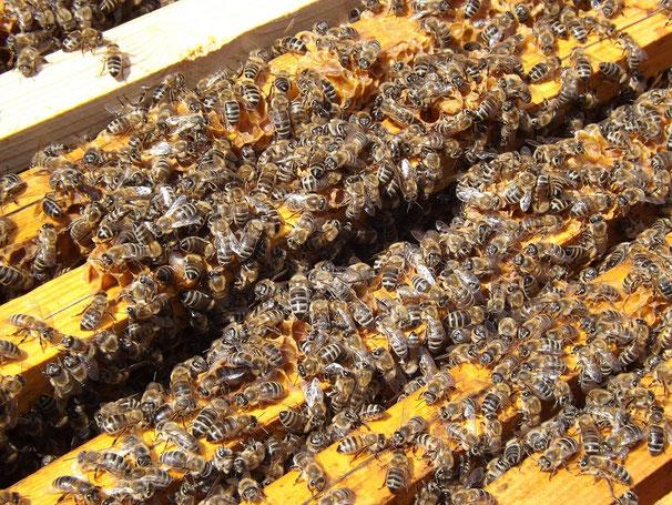 Honigbienen in einer Bienenbeute