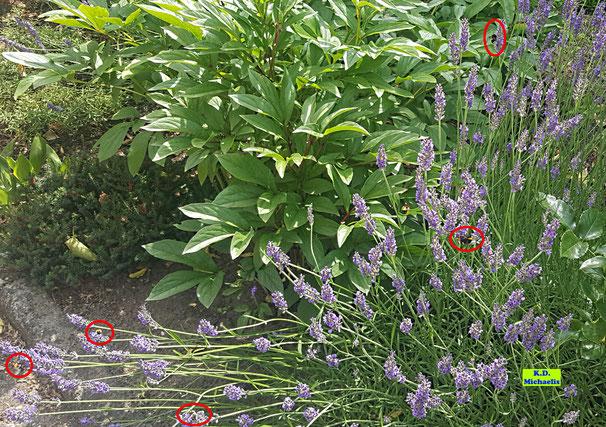 Großer Besucherandrang in Form von Wildbienen und Hummeln auf den Lavendelblüten von K.D. Michaelis