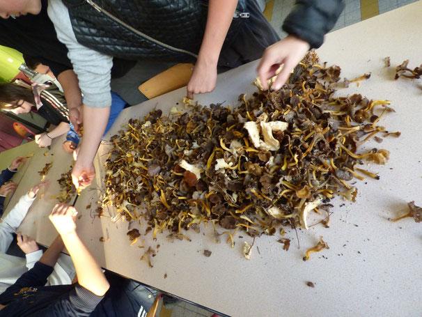 Le tri de tous les champignons aprés la récolte !!!