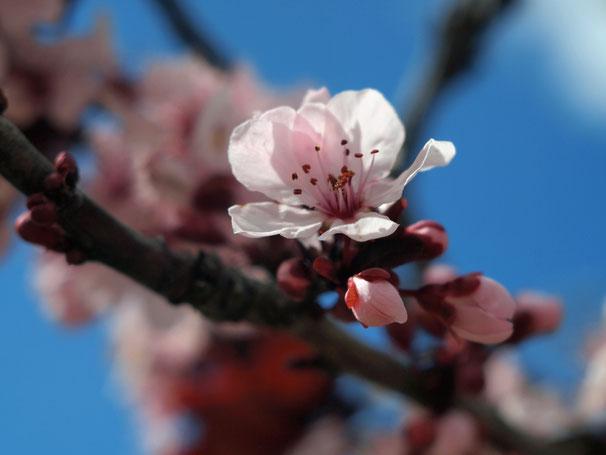 Flowering plum. 03-2012