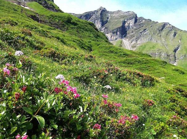 Die Alprosen blühen schon, Nationalpark Hohe Tauern.