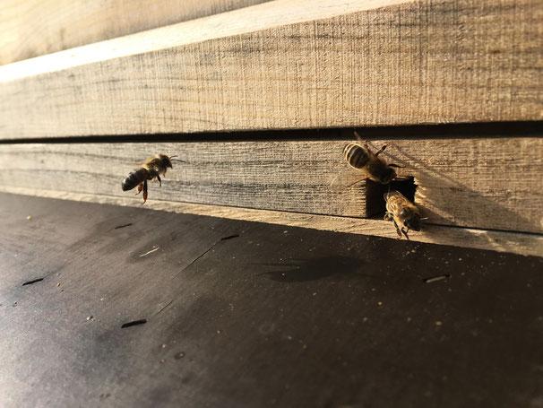 Achtung: Biene im gekröpften Südanflug...