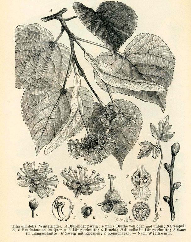 Holzschnitt aus: Lehrbuch der Botanik Dr. M. Rees, 1896, Blütenzweig der Winterlinde mit Details zur Blüte, Samen, Keimling und Knospen.