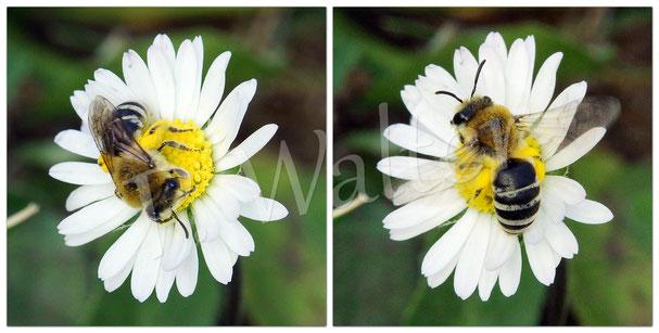 Bild: ein Seidenbienenweibchen, Colletes spec., auf einer Gänseblümchenblüte