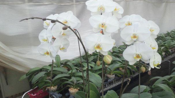 胡蝶蘭3株寄せのまま開花