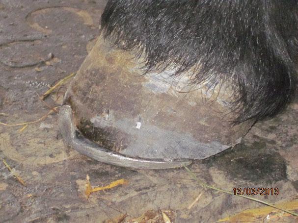 Zeheneisen für Fohlenbockhuf