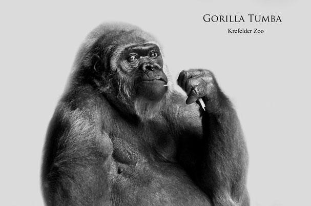 Gorilla TUMBA - Krefelder Zoo (Foto/Bearbeitung: Heike M. Meyer)