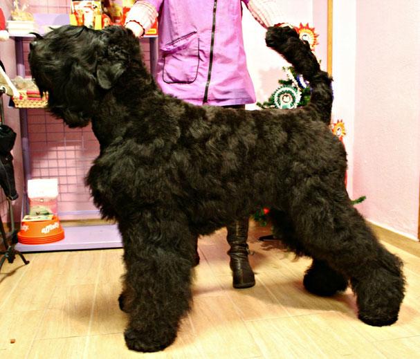 hembra de terrier negro ruso