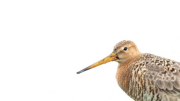 Uferschnepfe, Sebastian Vogel, Naturfotografie, vogel-naturfoto.de