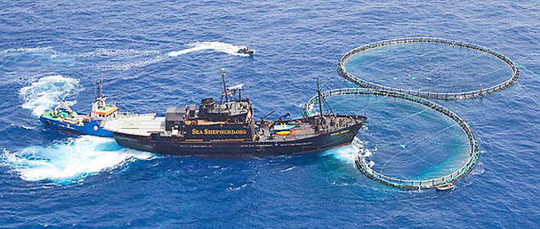 Le Point. juin 2010 Sea Shepherd libère 800 thons pris illégalement par des pêcheurs lybiens