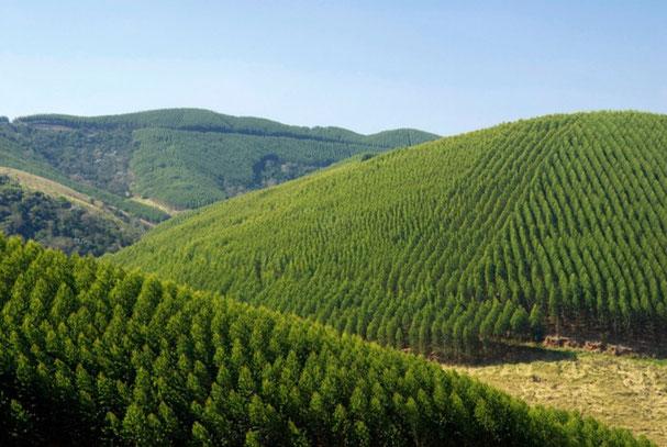 Brésil : plantation d'eucalyptus génétiquement modifiés (photo internet)