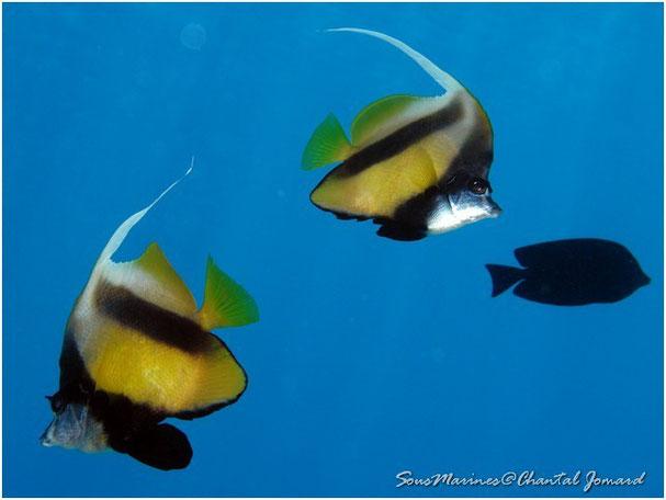 poissons cochers, hurghada, egypte