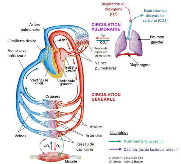 Schéma-bilan de la circulation sanguine entre les poumons et les muscles. Source : modifié de S.Plowman et al.