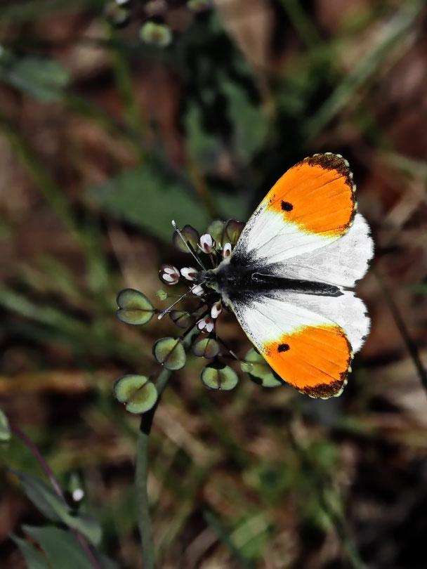 Aurora-Falter Schmetterling