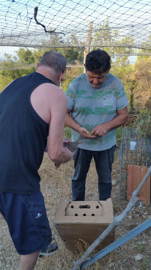 Avec le technicien de la FDC13, lâcher de perdreaux d'été en parc pendant 2 jours avant d'ouvrir les portes