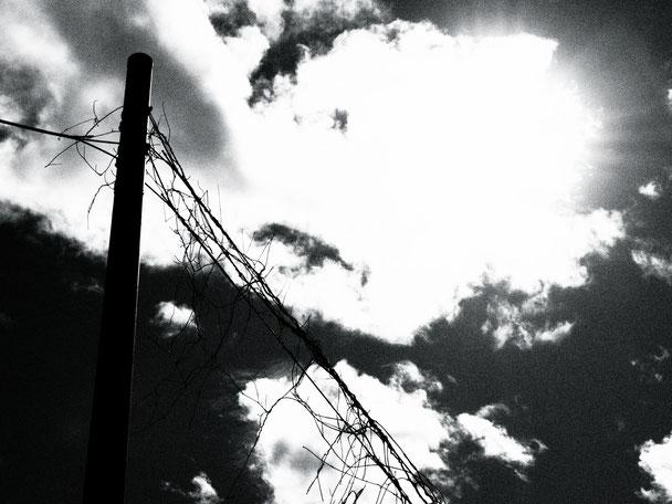 蔦枯れて網状。電信柱の放つ罠。