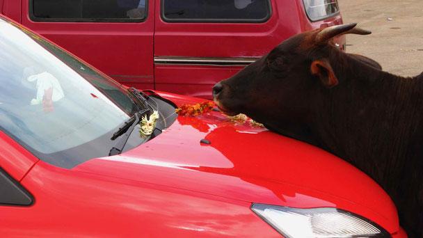 Kuh in Indien, Reiseberichte