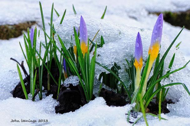 243. Krokussen in de sneeuw