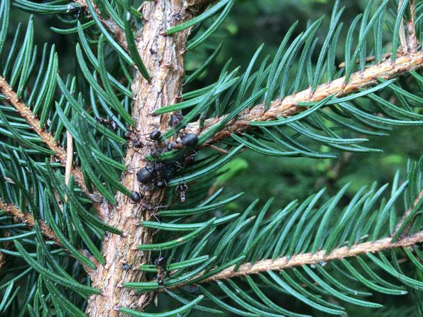 Läuse und Ameisen auf einem Baum