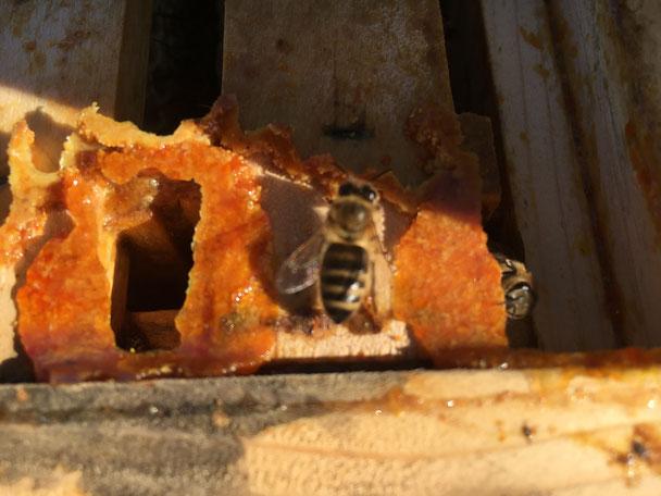 Biene auf Rähmchen mit Propolis
