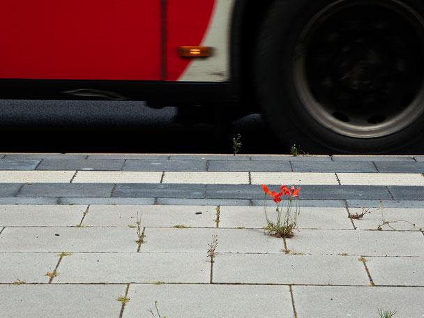 Mohn, Bus, bus stop, poppy seed, Bushaltestelle, Bonn, rot, red