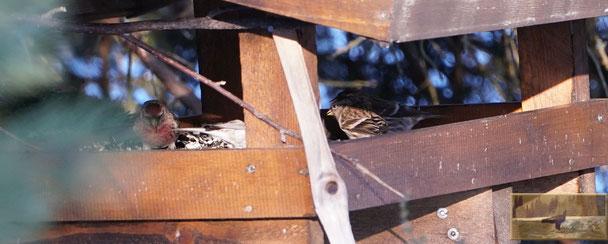Sinvogel, Bergfink,