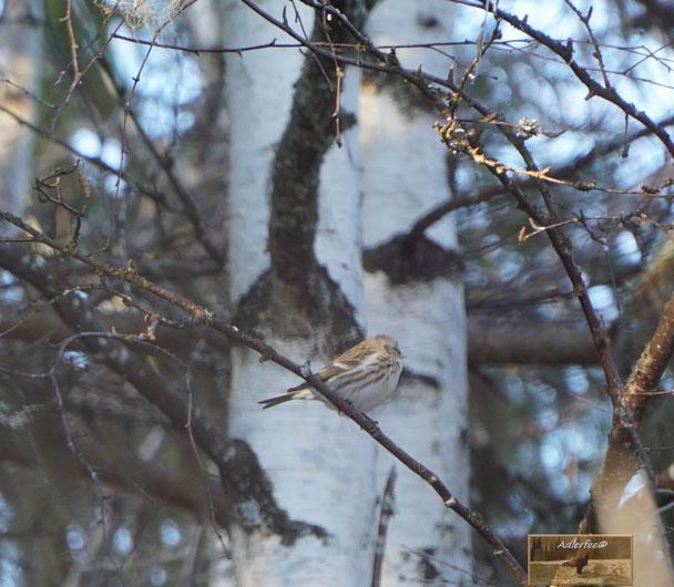 Singvogel, Bergfink