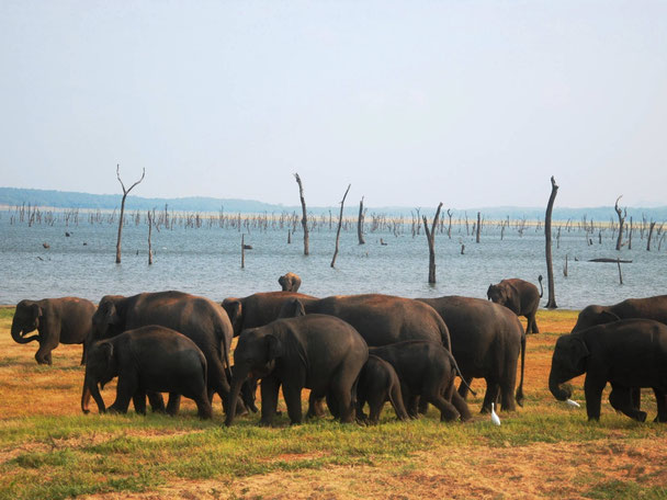 Kudde olifanten in het Kaudulla nationale park dichtbij Sigiriya