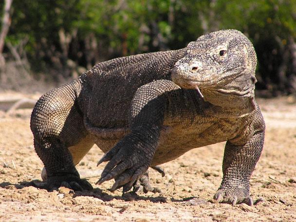 Komodo varaan in het Komodo nationale park Kleine Sunda eilanden
