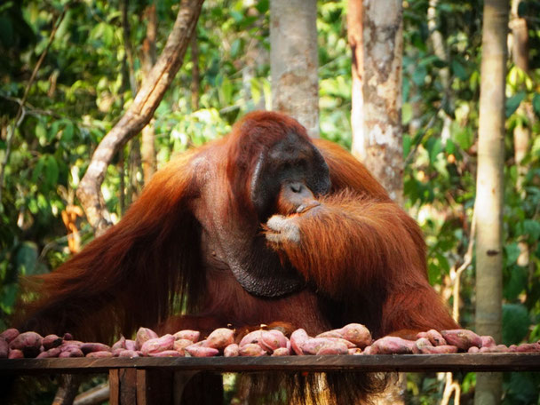 Orang-oetan bij het Tanjung Puting National Park op Kalimantan