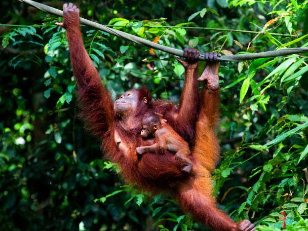 Orang-oetans in het regenwoud van Sukau in Sabah op Maleisisch Borneo