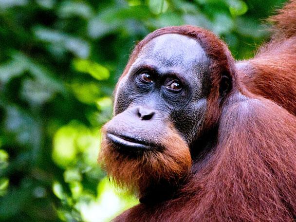 Orang utan in Bukit Lawang op Sumatra Indonesie
