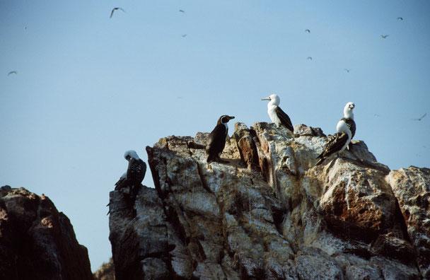Ein Bootsausflug zu den Ballestas Inseln bringt Sie ganz nah an die Tierwelt heran
