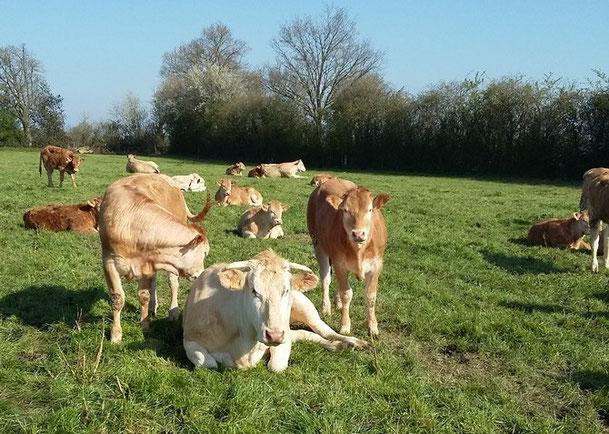 vache génisse Blonde d'Aquitaine produits fermiers de qualité vente directe viande