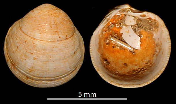 Loripes dentatus, Miocene dell'Aquitania