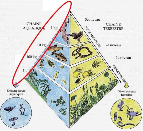 Pyramide de biomasse et niveaux trophiques.