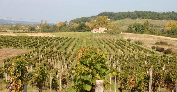 Vignoble de l'AOC Côtes de Castillon, entre Saint-Emilion et Bergerac