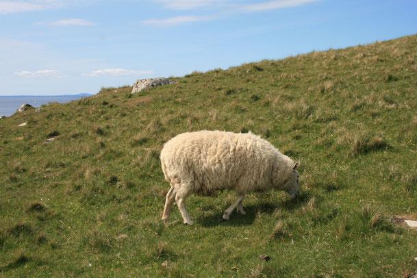 Harris Tweed besteht aus reiner Schafschurwolle