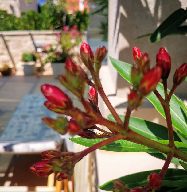 #povlja #islandbrac #wyspabrac #isolabrac #inselbrac #adriatic #sea #mare #meer #dalmatia #dalmazia #dalmatien #croatia #croazia #chorwacja #kroatien #apartmentspovlja #holidayapartments #vacation #vacanze #urlaub #flowers