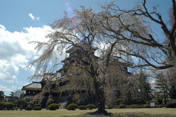 長野県 松本市 松本城としだれ桜  Nikon D100