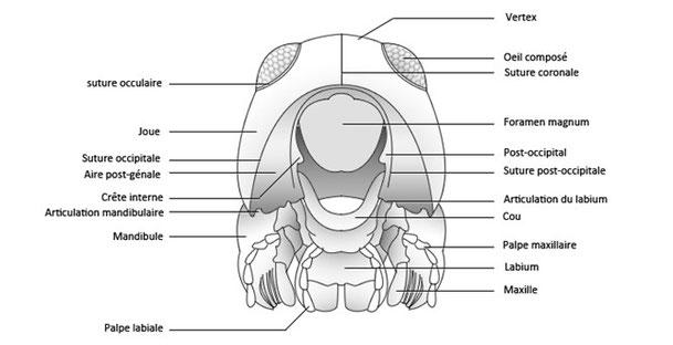 Figure 28 : schéma montrant les sutures et régions crâniennes visibles en vue postérieure © entomoLOGIC