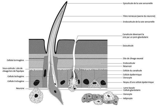 Figure 5 : Dessin d'observation des cellules associées à l'épiderme des arthropodes (d'après Beaumont modifié) Cliquez pour agrandir.