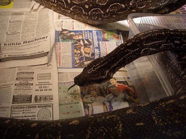 adultes Occi-Männchen beim Zeitung lesen :-)