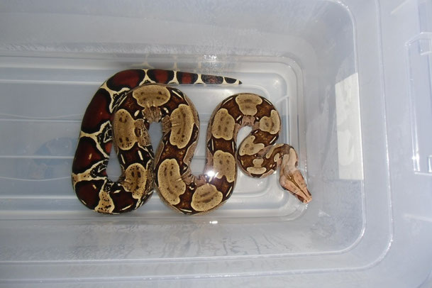 Boa c. constrictor aus Surinam. F1 Nachzucht aus einer Wildfang Verpaarung