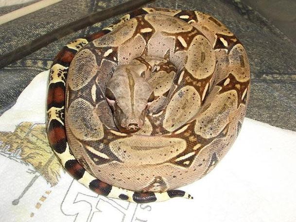Diese junge Boa c.c. aus Pucallpa/Peru entwickelte auf einmal eine ausgeprägte Schwarzfärbung