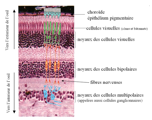 Coupe transversale de la rétine et position des différentes cellules. Source : internet.