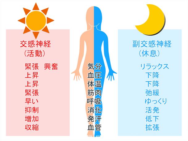 交換神経(活動):緊張 興奮 血圧上昇 体温上昇 筋肉緊張 呼吸早くなる 消化抑制 発汗増加 血管収縮の働きをします。 副交感神経(休息):リラックス 血圧下降 体温下降 筋肉弛緩 呼吸ゆっくり 消化活発 発汗低下 血管拡張の働きをします。