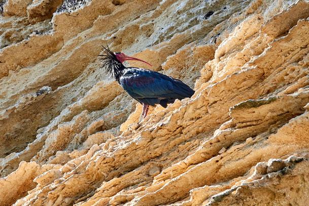 Waldrapp am Brutfelsen in Andalusien; fotografiert Anfang März 2020 auf dieser Reise